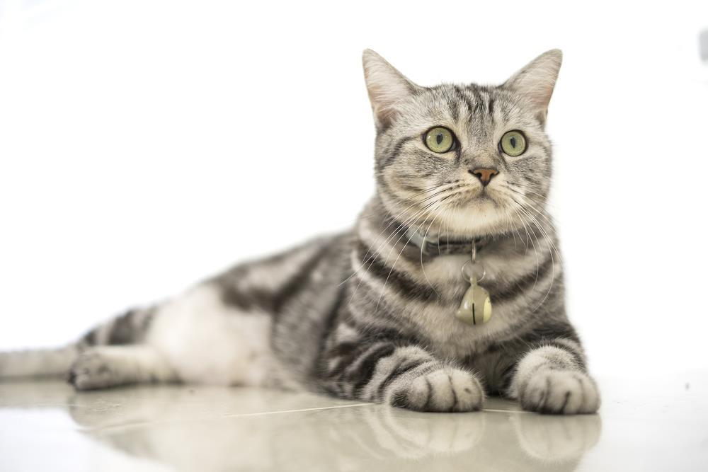 American Shorthair Katze