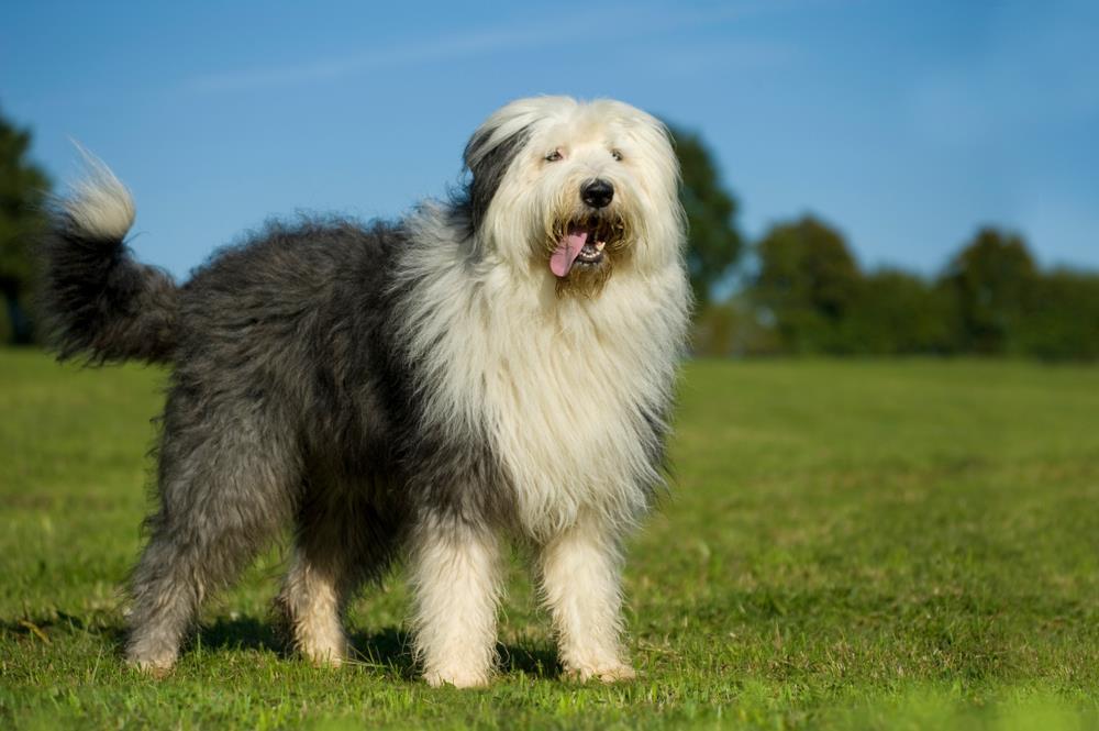 Bobtail Hund