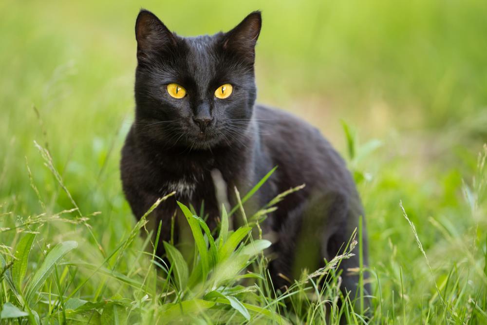 Bombay Katze
