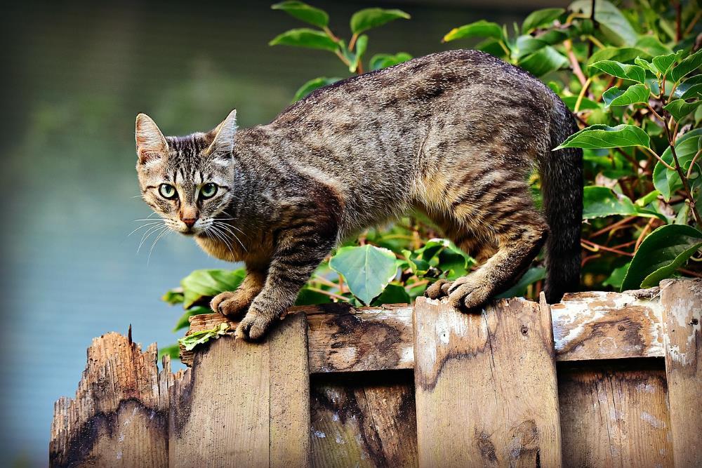 Kanaani Katze