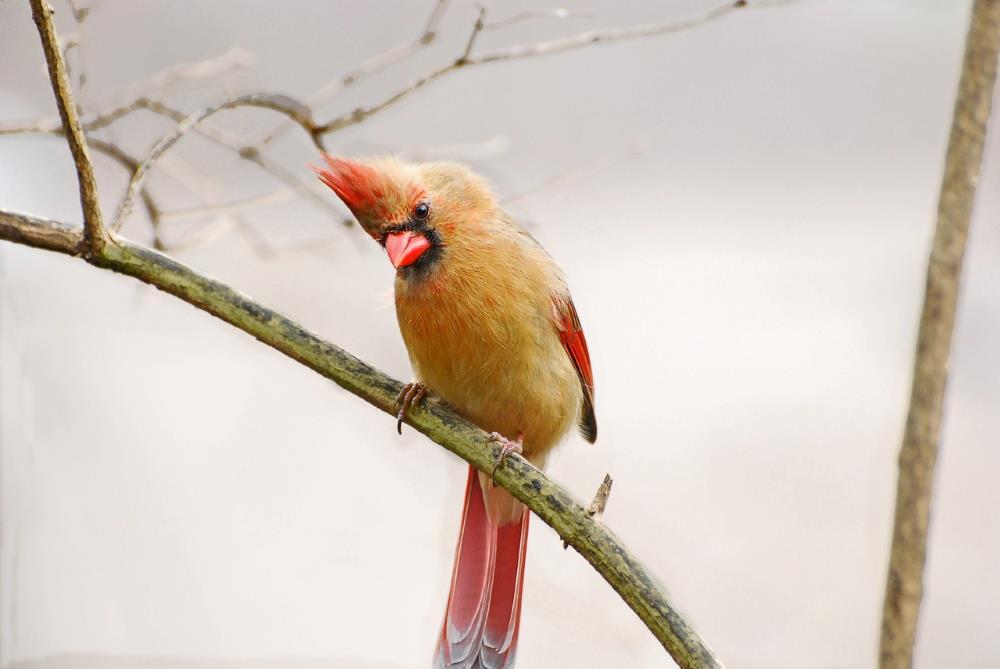 Vogel Domestizierung